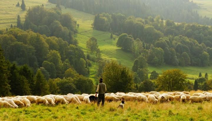 Shepherd 6